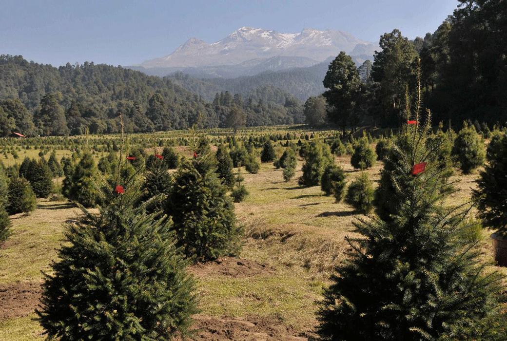 En el Estado de México se obtiene más de la cuarta parte de la producción nacional de árboles de navidad